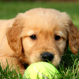 by Todd Yonkers - Animals - Dogs Puppies ( ball, puppy, cute, dog, golden retriever )