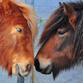 Friends by Guðmundur Árnason - Animals Horses ( iceland, horses, colorful, zoom, pony´s,  )