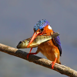 Malachite Kingfisher  Alcedo cristata  by Chris Krog - Animals Birds ( cristada, kingfisher, alcedo, malachite )