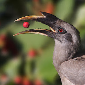Indain Grey Hornbill ::: Toss By Boss by Sharad Agrawal - Animals Birds ( bird, red, nature, rajasthan, udaipur, wildlife, india, birds )
