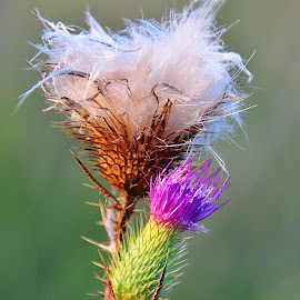 Brushes by Eugenija Seinauskiene - Nature Up Close Other plants ( wild, thistle, nature, lilac, green, white, fluff )