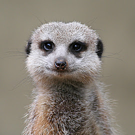 Meerkat Portrait by Jenny Brice - Animals Other Mammals ( zoo, adelaide, meerkat, portrait, mammal, animal )