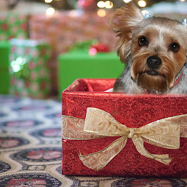 Pup In A Box by Richard  Friedle - Animals - Dogs Portraits ( yorkie, pets, holadays, presant )