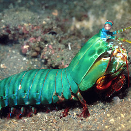 Mantis Shrimp by Anand Choudhari - Animals Fish ( water, colors, fish, beautiful, stone,  )