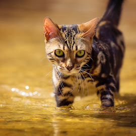 Creek Kitty by Beth Marky - Animals - Cats Portraits ( water, cat, pet, creek, stalk, yellow, bengal, kitty, portrait )