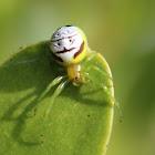 Kidney Garden Spider/ Pale Orb Weaver