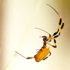 Wetlands Banana Spider by Brian Becnel - Animals Insects & Spiders ( spider, banana spider )