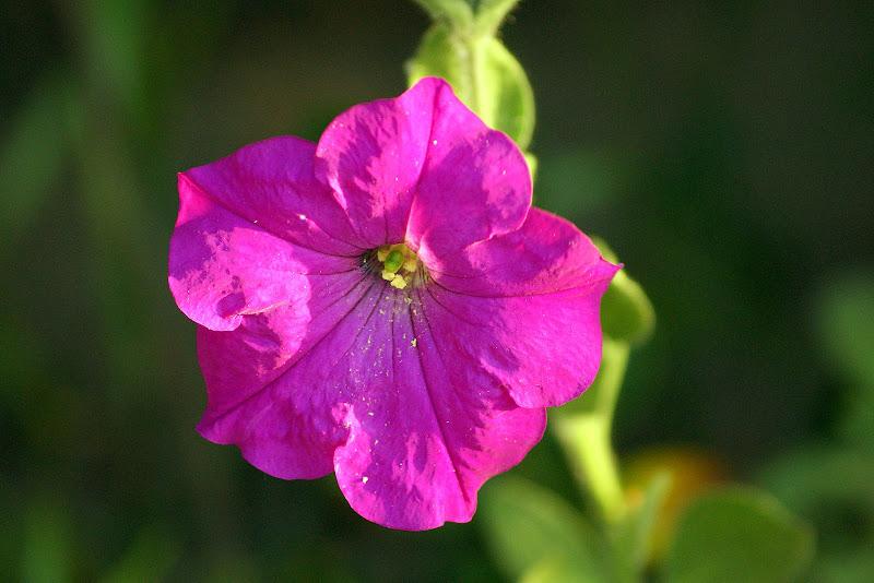 Flor lilás