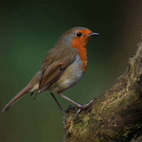 Robin by Bob Rawlinson - Animals Birds ( lakes )