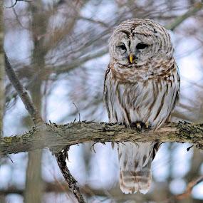 Barred Owl by Jaliya Rasaputra - Animals Birds ( owl,  )