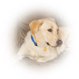 Lounging Dog by Lynda  Roegner - Animals - Dogs Portraits ( pet, puppy, dog, lab, friend, animal )
