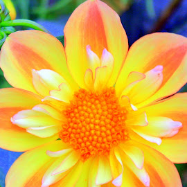 Bright and Bold by April Grunwald - Nature Up Close Gardens & Produce ( natural light, orange, orange flower, gorgeous, layers, nature up close, yellow, close up, dahlia, yellow flower, natural beauty )