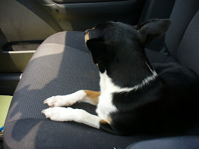 The terrier laying down on the front seat, head up.