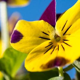 Viola by Ken Mickel - Novices Only Flowers & Plants ( yellow flowers, yellow, flowers, viola, yellow flower, flower )