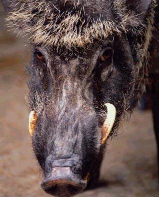 wild-boar.jpg