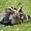 Egyptian goose (mom & babies)