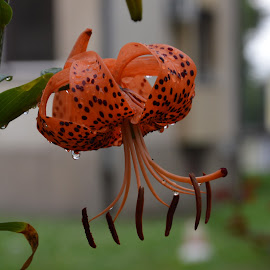Raindrops of the flower by Drago Ilisinovic - Novices Only Flowers & Plants