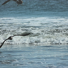 Rolling Waves on the Beach by Matt Dittsworth - Landscapes Beaches ( bird, seagull, rolling, wave, sea, ocean, navy, beach )