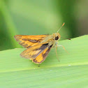 Pale Grass Dart or Pale-orange Darter