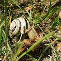 Vienna White-lipped Snail