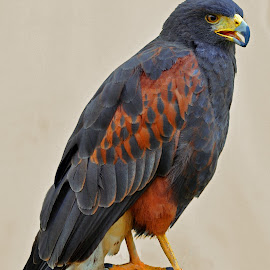 Harris' Hawk 1 by Marco Bertamé - Animals Birds ( bird, wild, bird of prey, portrait, harris' hawk,  )