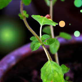 Tulsi Plant by Ashish Singla - Nature Up Close Other plants