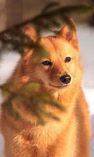 Finnish Spitz Wallpapers - screenshot