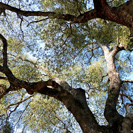 Under the Canopy by Tammy Morley - Nature Up Close Trees & Bushes ( trees, leaves, looking up, tree tops, tree trunk )