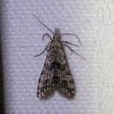 Many Plum Moth