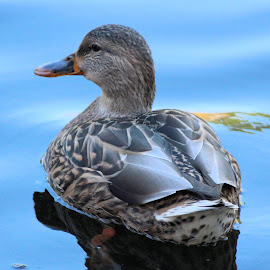 Todays Best  37 by Terry Saxby - Animals Birds ( bird, canada, terry, columbia, british, duck, victoria, saxby, nancy )