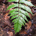 Virginia Chain Fern