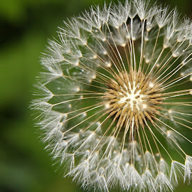 Dandelion by Jodi Landers - Nature Up Close Leaves & Grasses ( up close, dandelion, green, weed, garden )