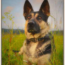 strict by Jojo Pried-Horsky - Animals - Dogs Portraits ( strict, german shepherd, dog, natural, friend )