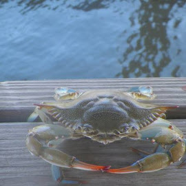 crab by Nita Andrews - Animals Amphibians ( water, pinch, reflection, deck, crab )