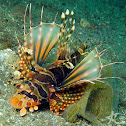 Zebra Turkeyfish