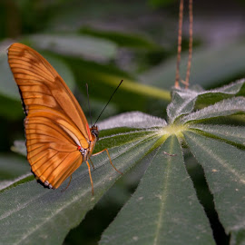 butterfly by Patrick Mous - Novices Only Wildlife ( plant, butterfly, mooi, butterflies, dutch, vlinder )