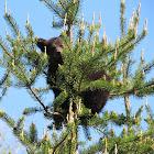 American black bear (cubs)