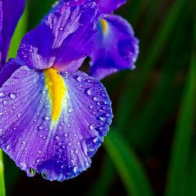 by Elizabeth Stein - Flowers Single Flower ( purple, yellow, color )
