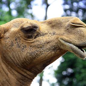 Handsome by Mohd Rashidin Ideres - Animals Other ( unta, camel, johor, unta jinak, zoo johor, malaysia )