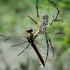Dragon Fly and Black and Yellow Argiope