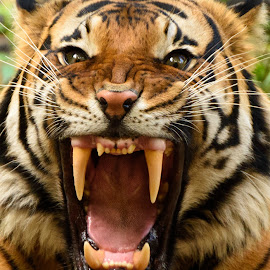 Fierce Male Tiger by William Sawtell - Animals Lions, Tigers & Big Cats ( nature, tiger, male tiger, jungle, wildlife )