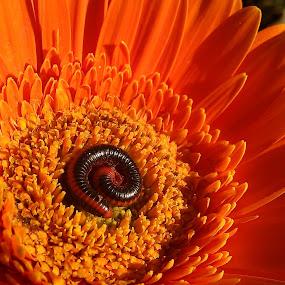 Orange bed ! by Darshan Trivedi - Instagram & Mobile Android ( defense, orange, macro, nature, beautiful, caterpillar, morning, flower,  )