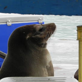 Waiting on Lunch by Tara  Smith - Animals Sea Creatures ( begging, fish, sea lion, galapagos, fish market,  )