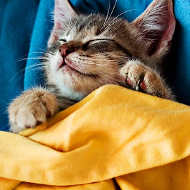 Sleeping KitKat by Chris Burns - Animals - Cats Kittens ( cat, kitten, sleeping, sleep, cute )