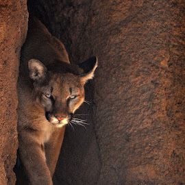 Cruz, the Mountain Lion by Dawn Hoehn Hagler - Animals Lions, Tigers & Big Cats ( desert museum, cat, cougar, tucson, puma, mountain lion )