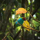 The Bay-headed Tanager or Tangara cabeciroja