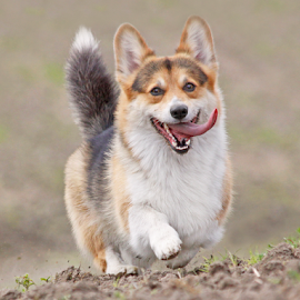 I hear you! by Mia Ikonen - Animals - Dogs Running ( obedient, happy, pembroke welsh corgi, finland, expressive )
