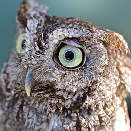 Love those eyes by Sandy Scott - Animals Birds ( owl portrait, birds of prey, screech owl, owl, birds, raptors,  )