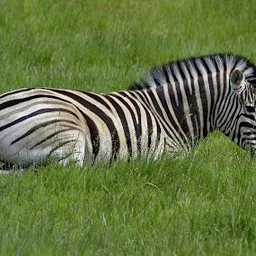 Zebra by Fran Juhasz-Mckitrick - Uncategorized All Uncategorized (  )