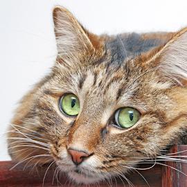 Interested by Mia Ikonen - Animals - Cats Portraits ( kurilian bobtail, curious, finland, clever, cute )
